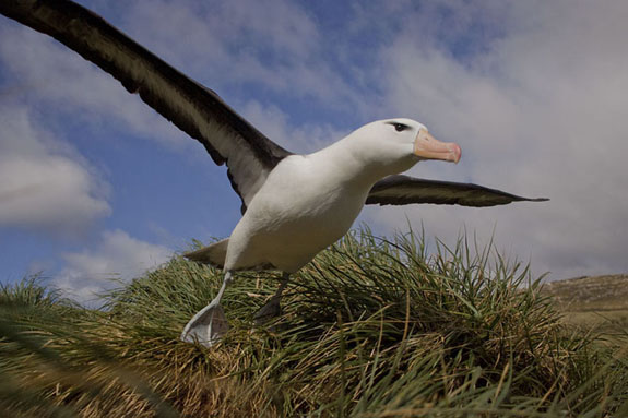 albatross taking flight falkland islands