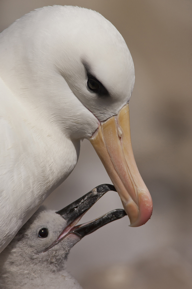 albatross mother and baby