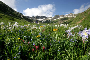 flowers and mountains american basin colorado wildflowers photo