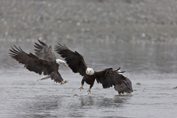 bald eagles on water