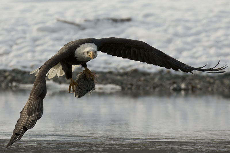 bald eagle flight with fish
