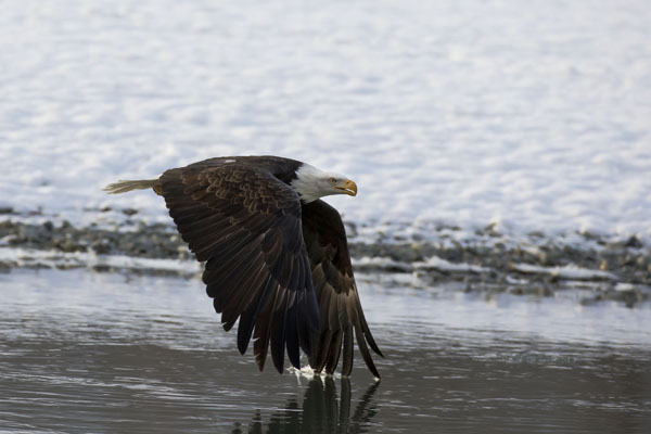 bald eagle flying over water