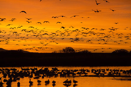 snow geese before sunrise at bosque del apache