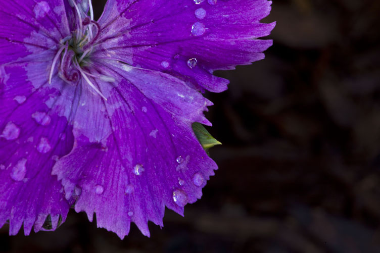 flower edges and water drops