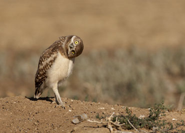 burrowing owl with hear turned