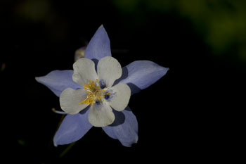 colorado blue columbine colorado wildflowers photo