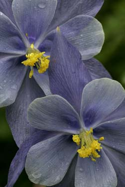 colorado blue columbine wildflower photo