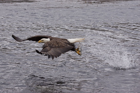 bald eagle grabbing fish out of water