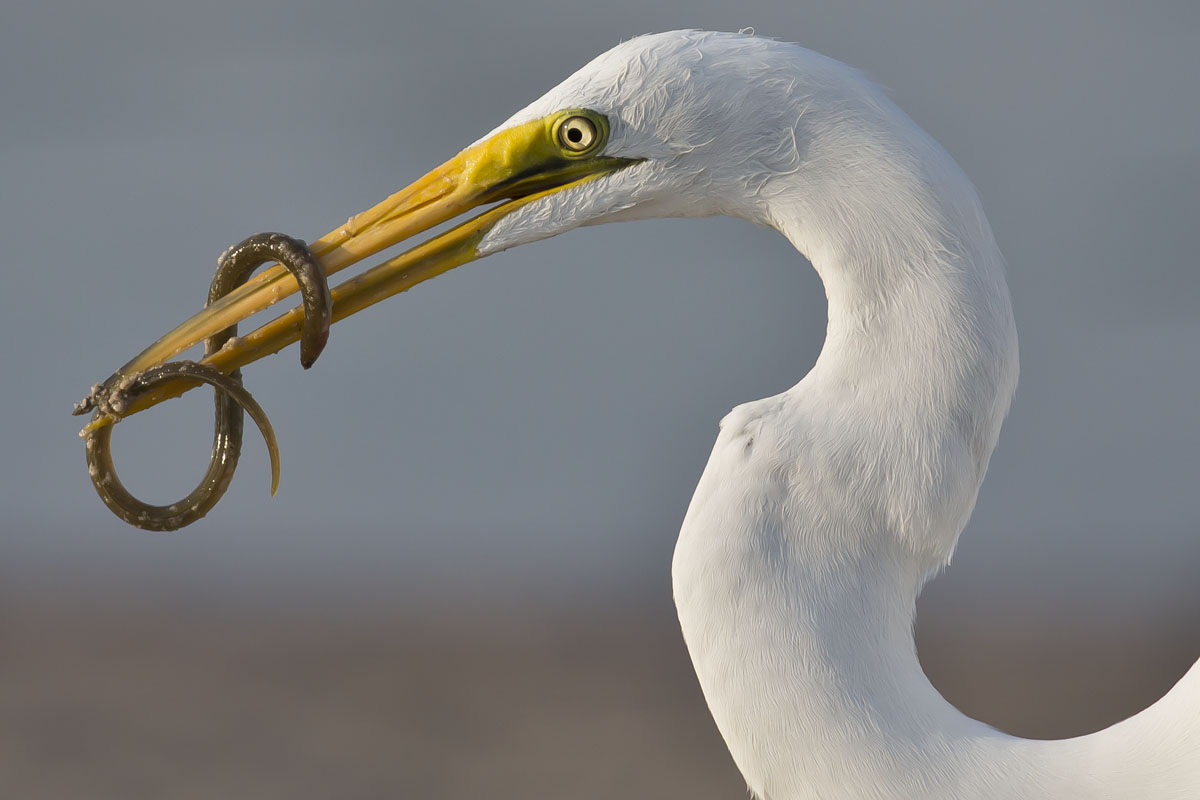 great egret with sand eel on bill