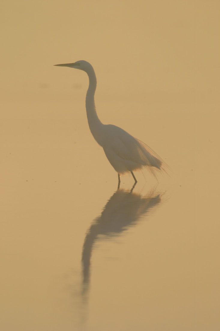 great egret in the water in the fog, moody photo