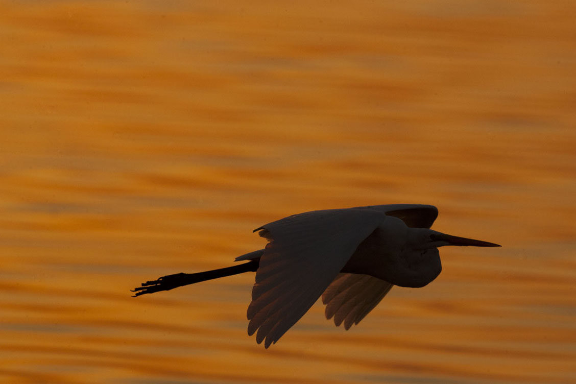 great egret sunrise flight