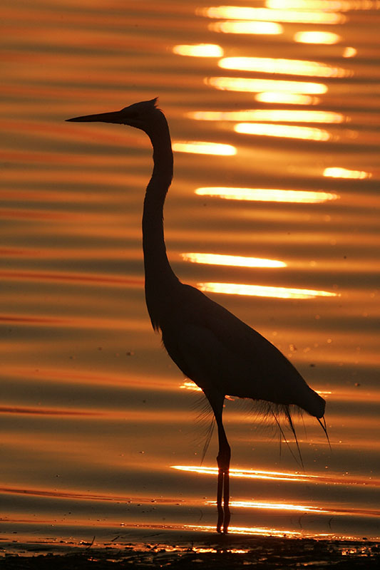 great blue heron silhouette at sunrise photo