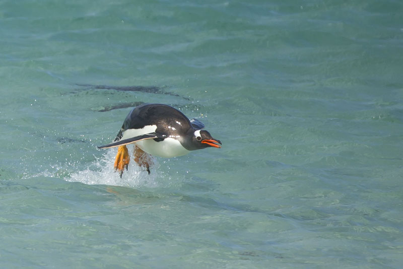gentoo penguin jumping out of water