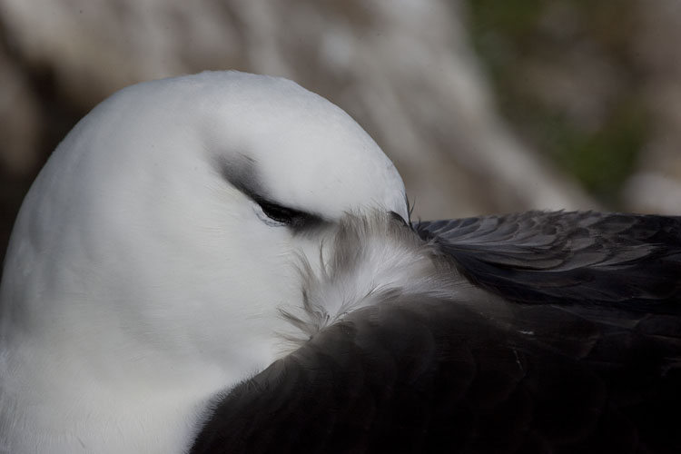 black browed albatross head tucked in
