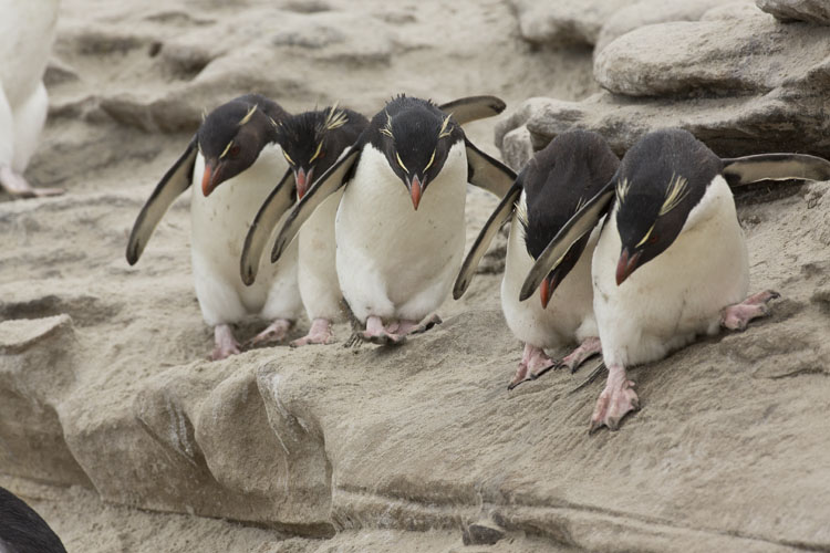 rockhopper penguins lined up saunders island