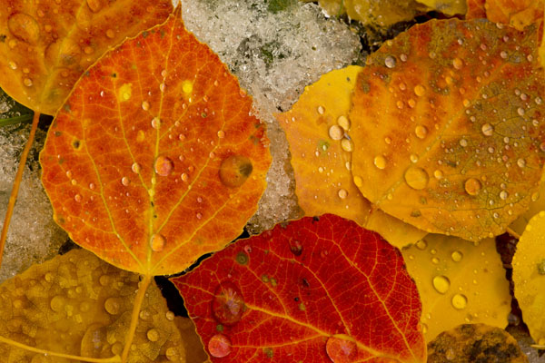 fall aspen leaves with water drops