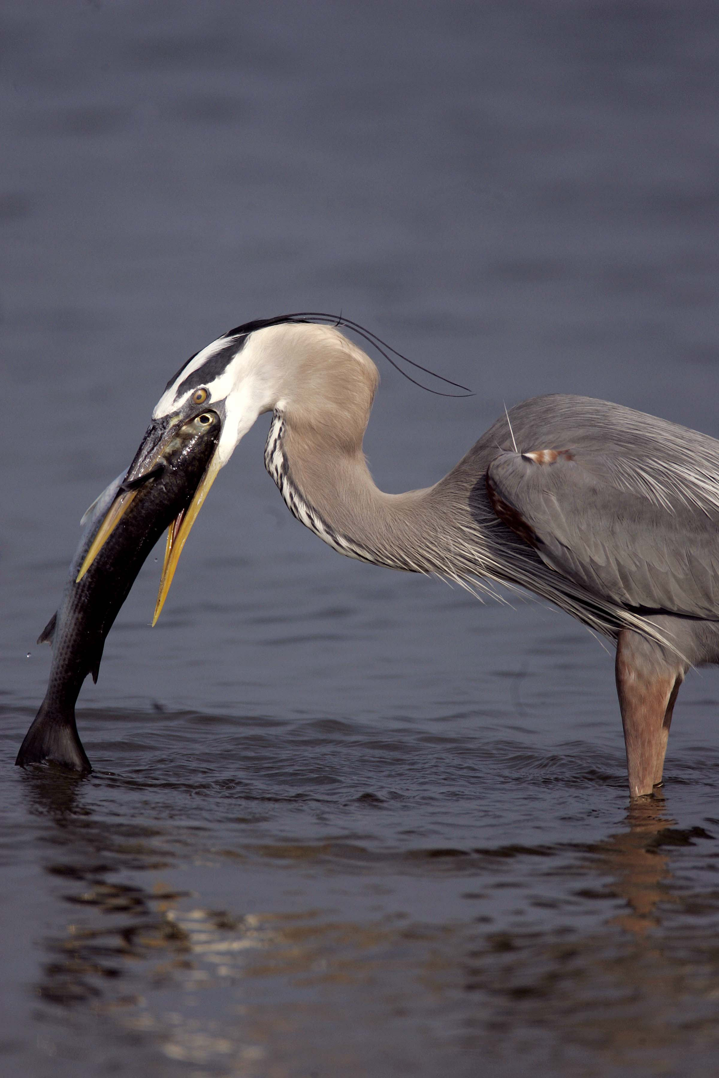 great blue heron catching mullet photo