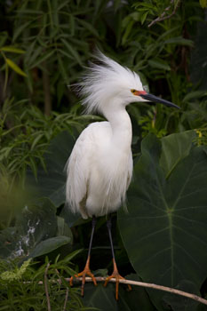florida snowy egret photo