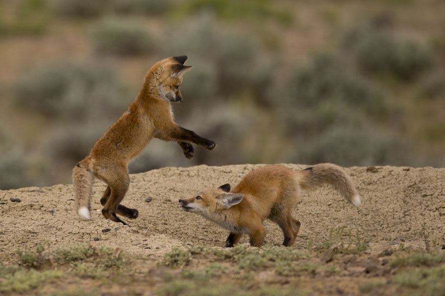 baby foxes playing