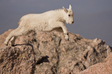 baby mountain goat jumping