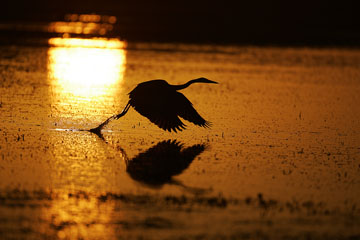 great blue heron taking flight at sunrise with orange water