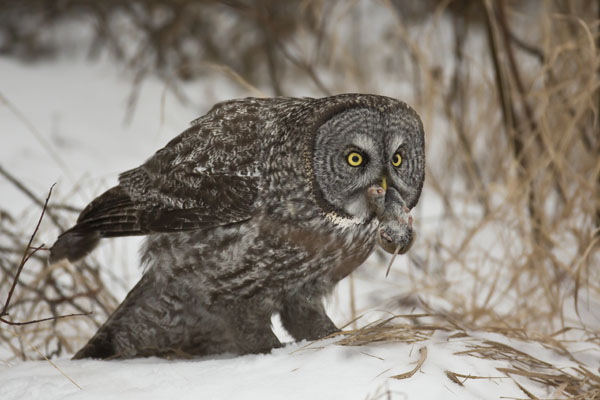 great gray owl wth mouse