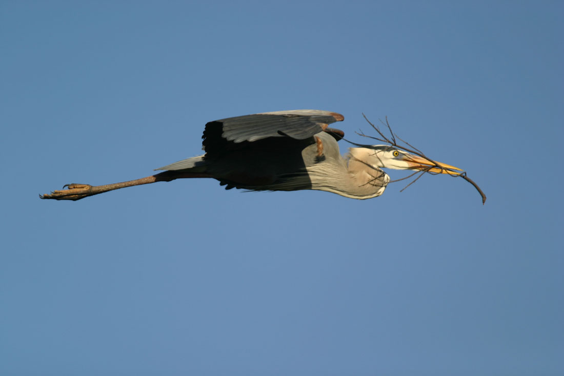 great blue heron with nest material fort desoto