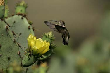 south texas ranches hummingbird at cactus photo