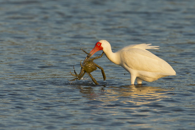 ibis with a green crab