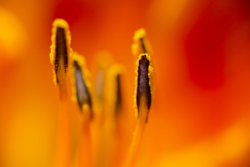 artistic isolating stamen in flower photography