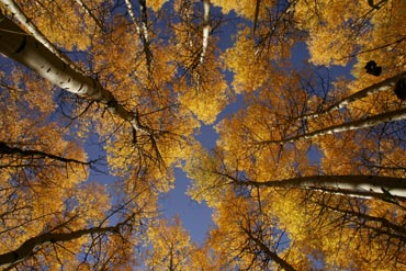 looking up through aspens sun star coloado autum fall color photo