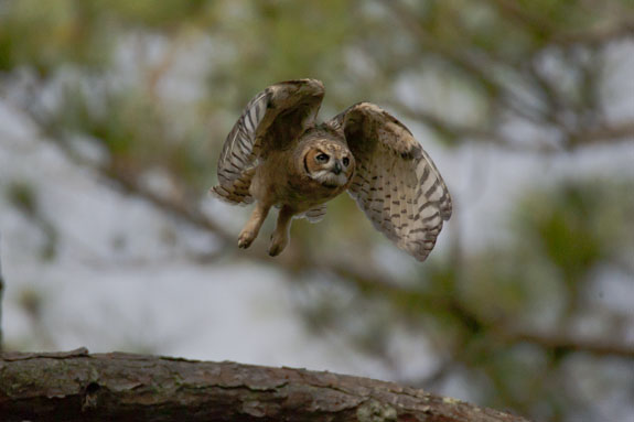 great horned owl fledling taking flight