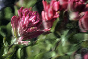 colorado rosy paintbrush wildflower abstract photo