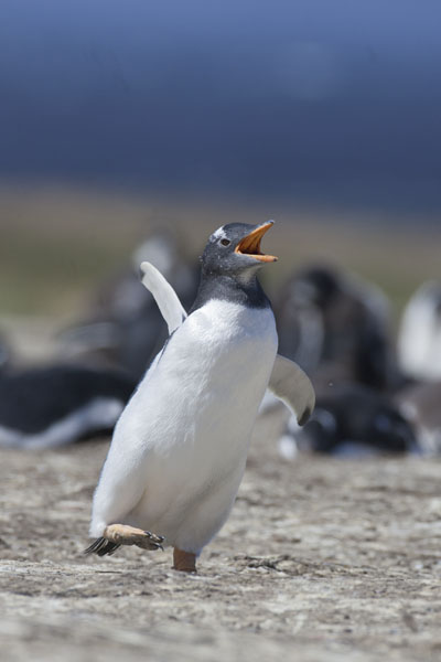 gentoo penguin sea lion island falkland islands photograph