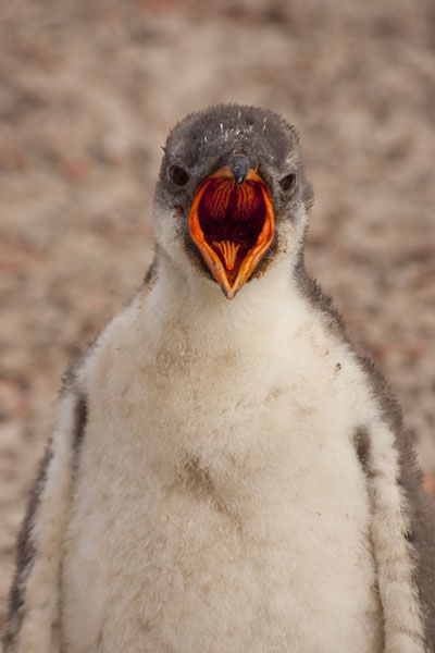 baby gentoo penguin falkland islands