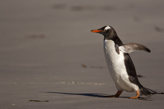 gentoo penguin on beach falkland islands