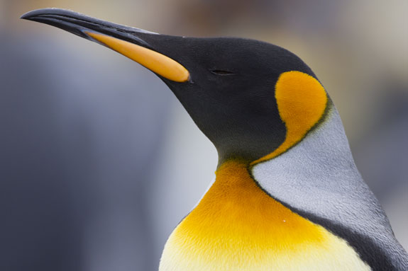 king penguin head colors falkland islands