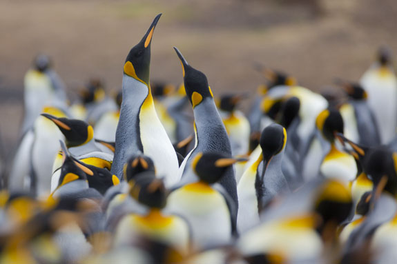 king penguin colony falkland islands