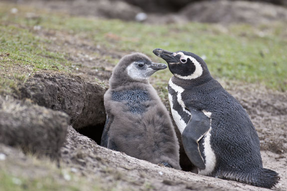 magellanic penguins at burrow falkland islands