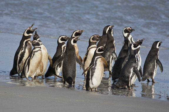 magellanic penguins at waters edge falkland islands