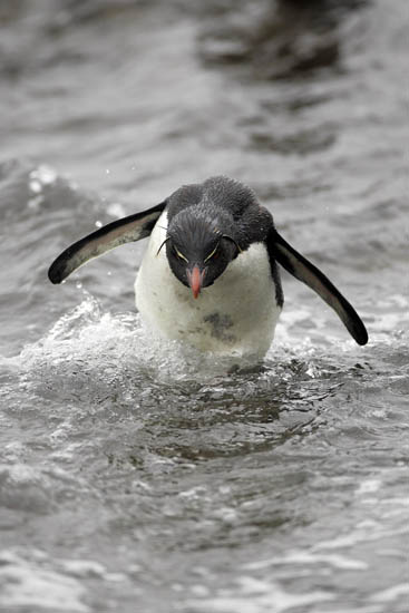rockhopper penguin porpoise jumping falkland islands