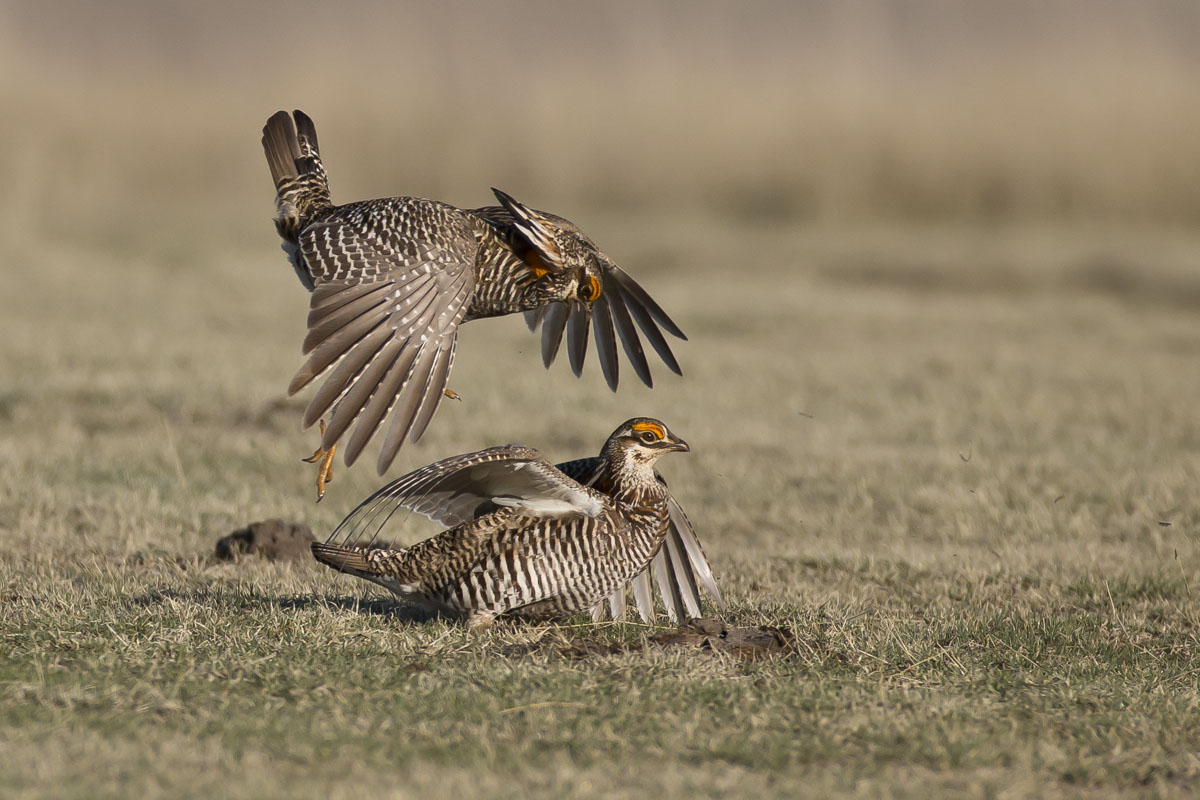 greater prairie chickens mating lek