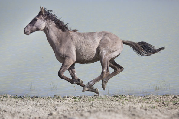 young foal running - sand wash basin