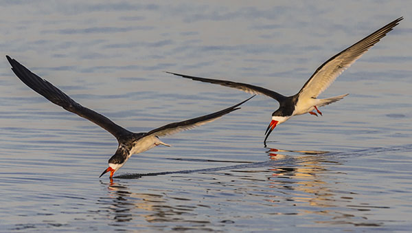 skimmer pair fishing