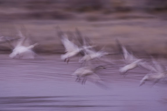 snow goose flight abstract