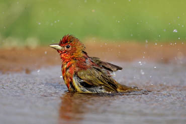 summer tanager bathing photo