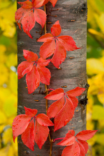 red vine on birch and yellow leaves Maine fall color