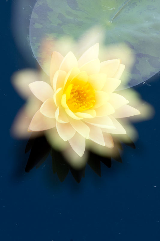 double exposure water lily