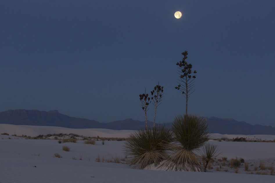 white sands yucca full moon