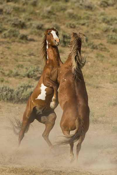 wild horse stallions rearing up for a fight